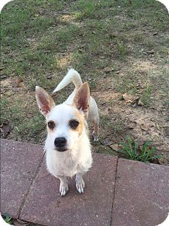 Cairn Terrier/Chihuahua Mix Dog for adoption in Tomball, Texas - Beebee