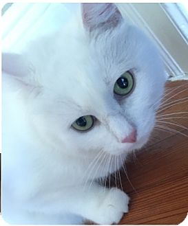 Domestic Shorthair Cat for adoption in Wantagh, New York - Ariel