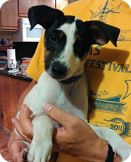 Jack Russell Terrier/Miniature Pinscher Mix Puppy for adoption in Tijeras, New Mexico - Eddison