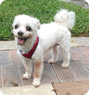 Maltese Mix Dog for adoption in Boca Raton, Florida - Cecil