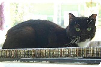 Domestic Shorthair Cat for adoption in Bradenton, Florida - Midnight