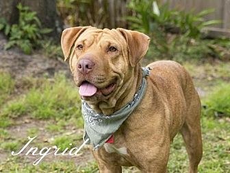 Shar Pei/Labrador Retriever Mix Dog for adoption in Houston, Texas - Ingrid