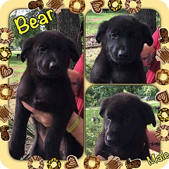 German Shepherd Dog/Labrador Retriever Mix Puppy for adoption in Manchester, Connecticut - Bear pending adoption
