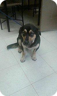 Shepherd (Unknown Type)/Beagle Mix Dog for adoption in Rexford, New York - Ozzie