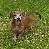 Adopt A Pet :: FiFi - Jacksonville, FL