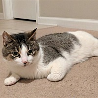 Adopt A Pet :: Pishee - Huntsville, AL