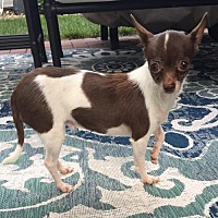 Chihuahua Dog for adoption in St. Louis Park, Minnesota - Ensley