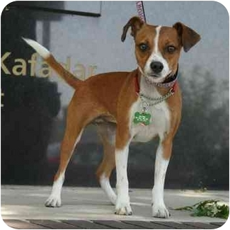 Beagle/Jack Russell Terrier Mix Dog for adoption in Denver, Colorado - Beauty