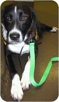 Border Collie Mix Dog for adoption in Portland, Oregon - Benny