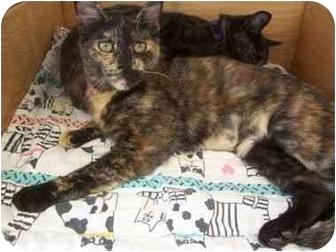 Domestic Shorthair Cat for adoption in El Cajon, California - Sarah