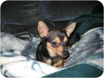 Chihuahua Puppy for adoption in London, Ontario - Dexter
