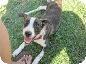 Jack Russell Terrier Mix Puppy for adoption in harrah, Oklahoma - Tex