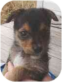Chihuahua Mix Puppy for adoption in Foster, Rhode Island - Cogsworth