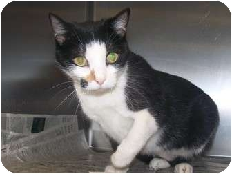 Domestic Shorthair Cat for adoption in Rockingham, North Carolina - Peggy