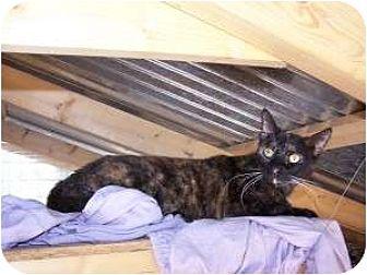 Domestic Shorthair Cat for adoption in Winnsboro, South Carolina - Teresa