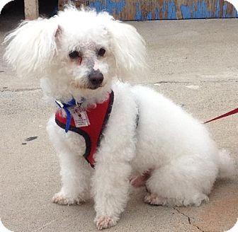 Maltese/Poodle (Miniature) Mix Dog for adoption in Santa Monica, California - DANZER