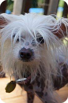 Chinese Crested Dog for adoption in Newark, Delaware - Tiffany
