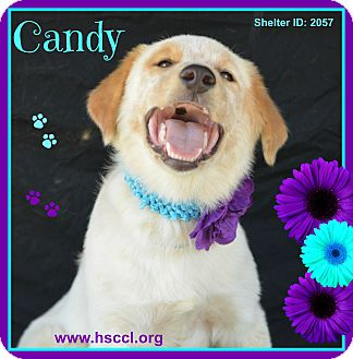Collie Mix Dog for adoption in Plano, Texas - Candy