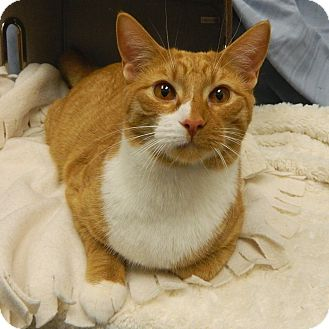 Domestic Shorthair Cat for adoption in McCormick, South Carolina - AA Tiger