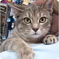 Domestic Shorthair Cat for adoption in Sterling Heights, Michigan - Lil Diva