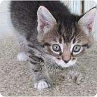 Adopt A Pet :: Sox - Warren, MI