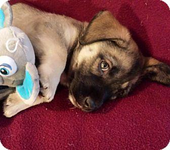 Shepherd (Unknown Type)/Corgi Mix Puppy for adoption in Marietta, Georgia - Leo