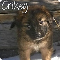 Adopt A Pet :: Crikey - Greeley, CO