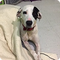 Adopt A Pet :: Pongo-URGENT - Providence, RI