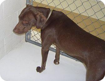 Weimaraner Mix Dog for adoption in Newburgh, Indiana - Zoey I SMILE!!!!!