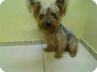 Yorkie, Yorkshire Terrier Mix Dog for adoption in Philadelphia, Pennsylvania - VALENTINO