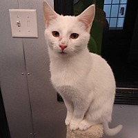 Domestic Shorthair Cat for adoption in Barnwell, South Carolina - Houdini