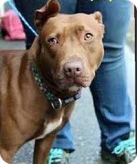 Pit Bull Terrier Mix Dog for adoption in Williamsburg, Virginia - HENNESSY