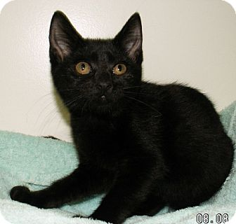Domestic Shorthair Kitten for adoption in Fayetteville, Georgia - Lola