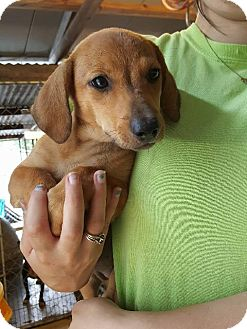 Dachshund Mix Puppy for adoption in Hammond, Louisiana - Dorothy