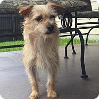 Adopt A Pet :: Ginger - San Antonio, TX