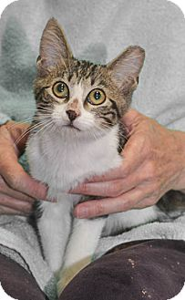 Domestic Shorthair Kitten for adoption in Reston, Virginia - Clarence