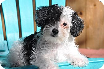 Toy Poodle/Yorkie, Yorkshire Terrier Mix Puppy for adoption in Allentown, Pennsylvania - Trip