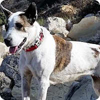 Adopt A Pet :: Nina - Dana Point, CA
