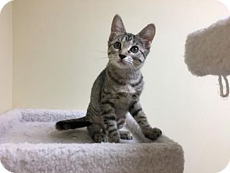 Domestic Shorthair Kitten for adoption in ROSENBERG, Texas - Clariece