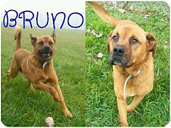Boxer/Labrador Retriever Mix Dog for adoption in Lagrange, Indiana - Bruno