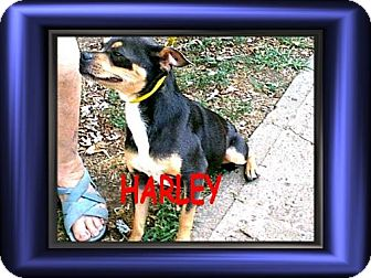 Chihuahua/Rat Terrier Mix Dog for adoption in Cushing, Oklahoma - x HARLEY adopted