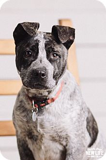 Australian Cattle Dog/Pit Bull Terrier Mix Puppy for adoption in Portland, Oregon - Tugg