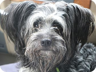 Yorkie, Yorkshire Terrier/Poodle (Miniature) Mix Dog for adoption in Norwalk, Connecticut - Watkins