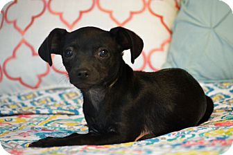 Chihuahua Mix Puppy for adoption in Staunton, Virginia - Midnight