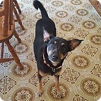 Adopt A Pet :: Kashmir - Blue Bell, PA
