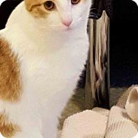 Adopt A Pet :: Cheddar - Gaithersburg, MD