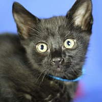 Adopt A Pet :: Mr. Menk - Winston-Salem, NC