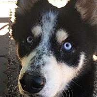 Adopt A Pet :: Albert - Matawan, NJ