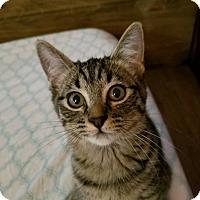 Domestic Shorthair Kitten for adoption in Rosemead, California - Spock