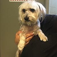 Adopt A Pet :: Ivy - Thousand Oaks, CA